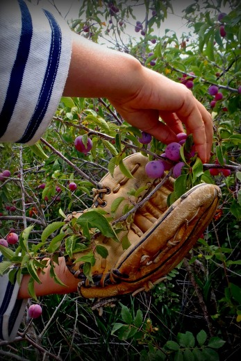Using a mitt to harvest ditch plums